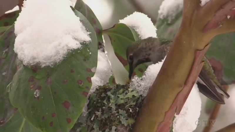 """I'm looking for tiny little movements"" Adam finds out how an Esquimalt man is using his super powers of perception to capture hundreds of hummingbirds on camera."