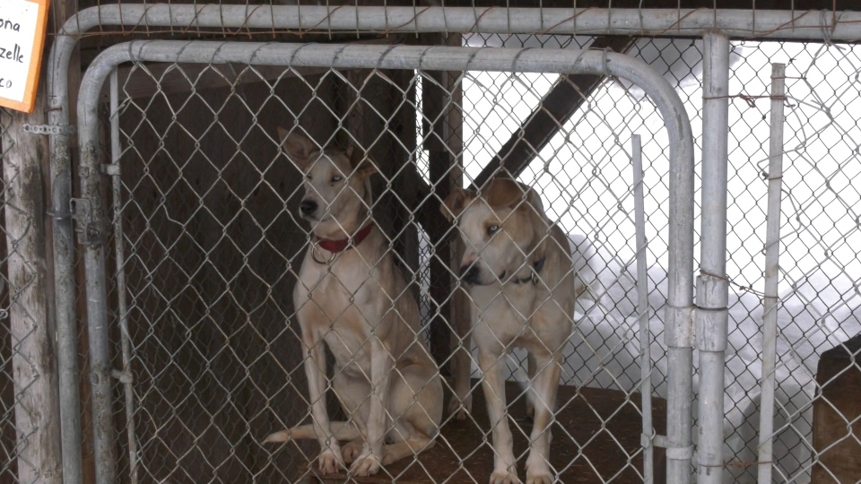 Allegations of abuse at dog sled kennel