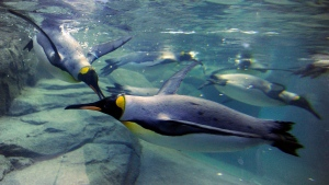 FILE - King penguins swim during opening day of the Penguin Plunge exhibit at the Calgary Zoo in Calgary, Alberta on Friday, Feb. 17, 2012. THE CANADIAN PRESS/Larry MacDougal