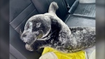 A seal is shown in the back of a police cruiser after being rescued in Charlottetown, P.E.I., in this recent handout photo. The seal was wandering the streets of Charlottetown, P.E.I. Sunday morning, prompting a concerned neighbour to call police. Though eyewitnesses say the seal did its best to resist arrest, police got it into the back of a cruiser and, in consultation with Fisheries and Oceans Canada, released it back into the water where it belongs. (THE CANADIAN PRESS/HO - Charlottetown Police Services)