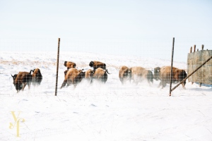 Thirty-three bison have been reintroduced to Onion Lake Cree Nation. (Yellow Finch Images)