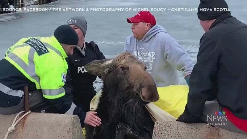 They did all they could to save weary moose