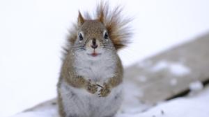 A smiling Red Squirrel collecting sunflower seeds at Fletcher's Garden. (Martin Good/CTV Viewer)