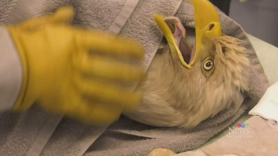 Island centre treating eagle with lead poisoning