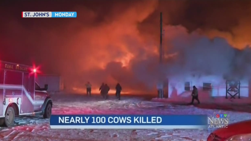 At least 80 cows die in N.L. farm fire