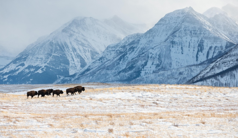 Indigenous elders were on hand to celebrate six plains bison arriving at Waterton Lakes National Park (Courtesy: Parks Canada)