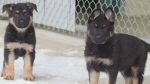 Surrey RCMP want help to name these puppies