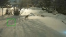 Two wild coyotes seen chasing a rabbit right outside Jacqueline Bolton's Nepean house from her security camera. (Photo courtesy: Jacqueline Bolton)