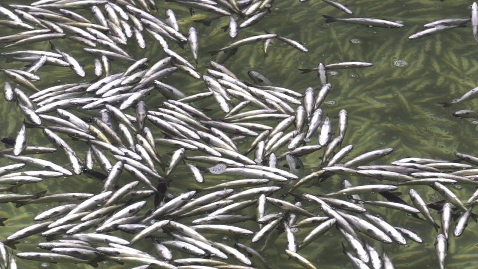 Salmon are pictured after receiving an anesthetic in a Mowi Canada hatchery located on Vancouver Island: Feb. 24, 2021 (CTV News)