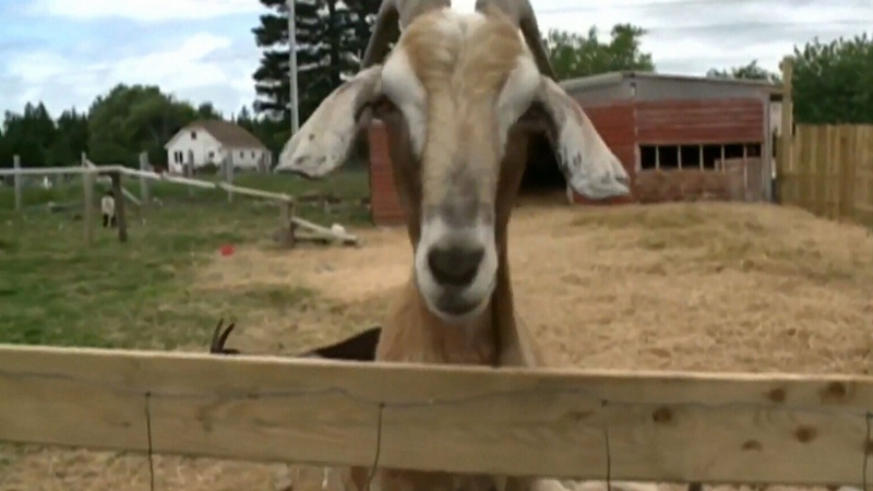 The family business, which is called The Groovy Goat, was started in 2012.