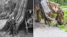 The hollow tree was the City's first tourist attraction, according to architectural photographer John Bentley. Photos show the tree in 1910 and 2020.