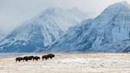 Bison are back at Waterton