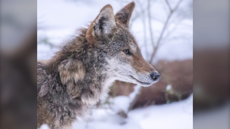 A coyote called Kip is causing a stir on the UBC campus, not because of its good looks or bad behaviour, but with its signature rolling gait as it propels itself along on just three legs. (Liam Brennan)