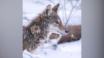 Coyote makes its home at UBC