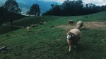 Sheep are pictured grazing in this file photo. (Chama/Pexels)