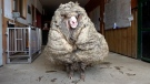 A wild and ailing sheep found in a forest in Australia, named Baarack by rescuers, has yielded a fleece weighing more than 35 kilograms.