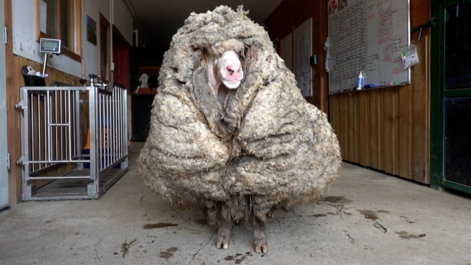 Wild sheep in Australia shorn of 35 kg fleece