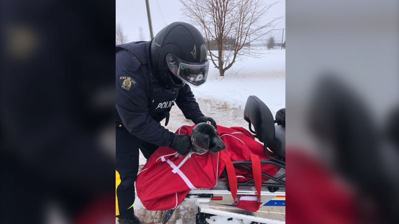 RCMP say they got a call from a farmer on Tuesday who said there was a seal shuffling through his field. (Photo courtesy: RCMP P.E.I.)