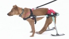 Paralyzed skiing dog seeks forever home
