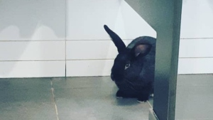 "Halifax Central Library staff say they were ""baffled"" when they found the rabbit, who they affectionately named ""Flushy"". (Photo: Halifax Public Libraries)"