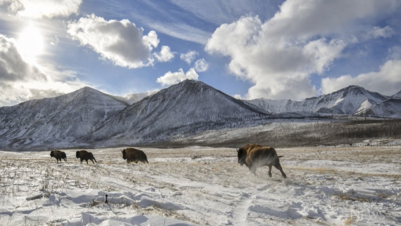 Herd of bison back at Waterton Lakes National Park