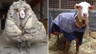 The animal, now named Baarack, is at a sanctuary in Australia after being found roaming in the wild by a member of the public.