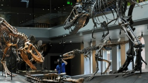 "The Tyrannosaurus rex ""Growth Series"" at the Natural History Museum of Los Angeles features a baby (C), juvenile (L) and young adult T. rex. (AFP)"