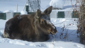 One of several pictures Richard Becker snapped of a moose that was staying in his back yard. (Courtesy Richard Becker)
