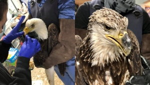 Two bald eagles died in care at Salthaven West Wildlife Rehabilitation and Education Centre after being ingesting lead. (Salthaven West Wildlife Rehabilitation/Facebook)