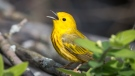 The impact of climate change on yellow warblers