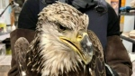 Eagles die of lead poisoning