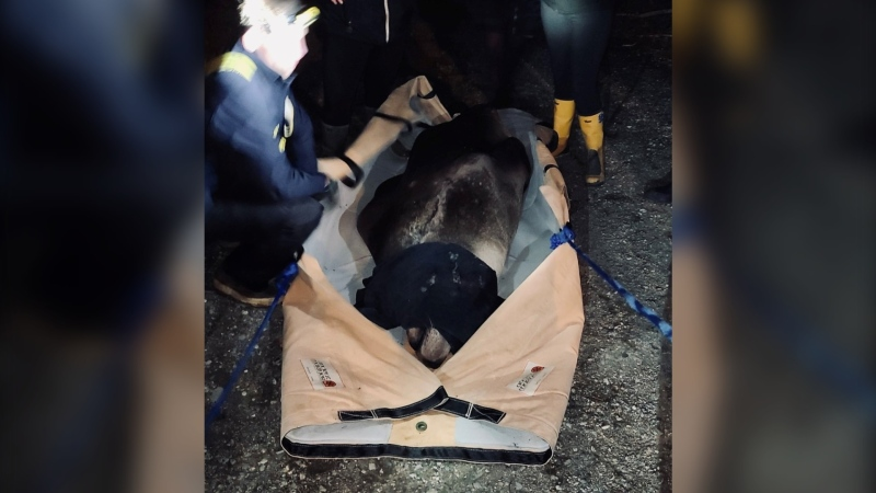 Nanaimo firefighters joined the Vancouver-based Marine Mammal Rescue Centre in responding to a stranded sea lion Thursday night. (Nanaimo Fire Rescue)