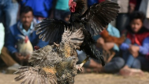 Cockfights are banned but still common in rural areas of India. (AFP)