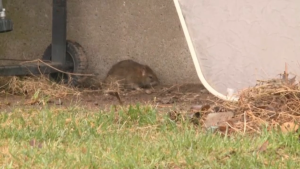 A Vancouver Island group is pushing for British Columbia to become the first province in Canada to ban rat poison and other rodenticides, saying they are inhumane and have detrimental effects on local wildlife.
