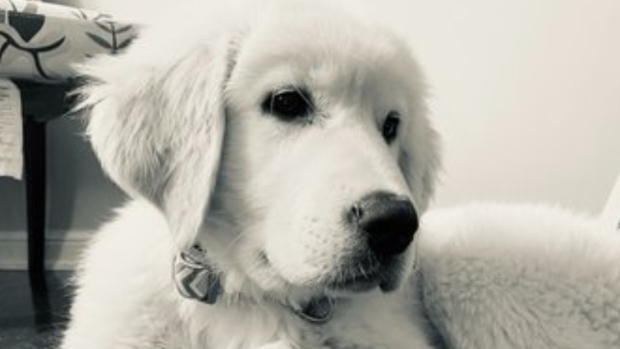 Hudson, a four-month-old puppy, is seen in this undated photo. (Halton Regional Police/Handout)