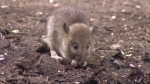 Island group fights for ban on rat poisons