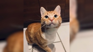 Vancouver rescue cat doing well in competition