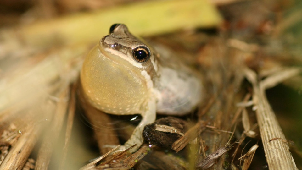 The Western/Striped Chorus Frog has declined throughout the St. Lawrence Valley in Quebec as a result of habitat loss. SOURCE: Nature Watch Canada