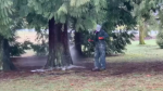 A worker removes racist graffiti from a tree in Riverview Park in Vancouver on Sunday, Feb. 28, 2021. (CTV)