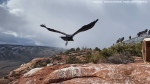 Watch as an almost 2-year-old condor is released back into the wild in Utah after being treated for lead poisoning.