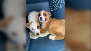 The Saving Grace Animal Society and the Alberta Animal Rescue Crew Society took these puppies from La Loche to be adopted. (Saving Grace Animal Society/Facebook)