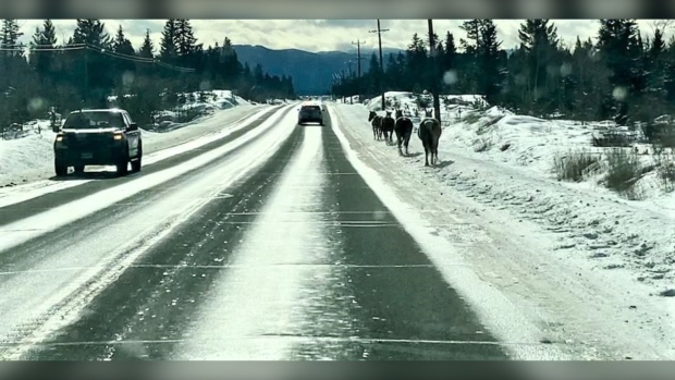 Horses on the highway: Here's how B.C. Mounties, conservation officers helped wrangle some runaways