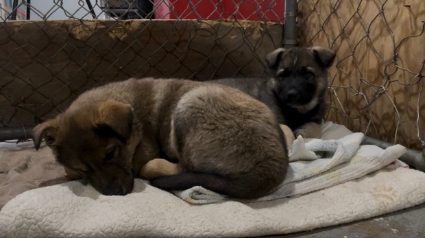Molly (left) and Zeus cuddle on a blanket. The pair are two of five adoptable dogs. (Kaylyn Whibbs/CTV Yorkton)