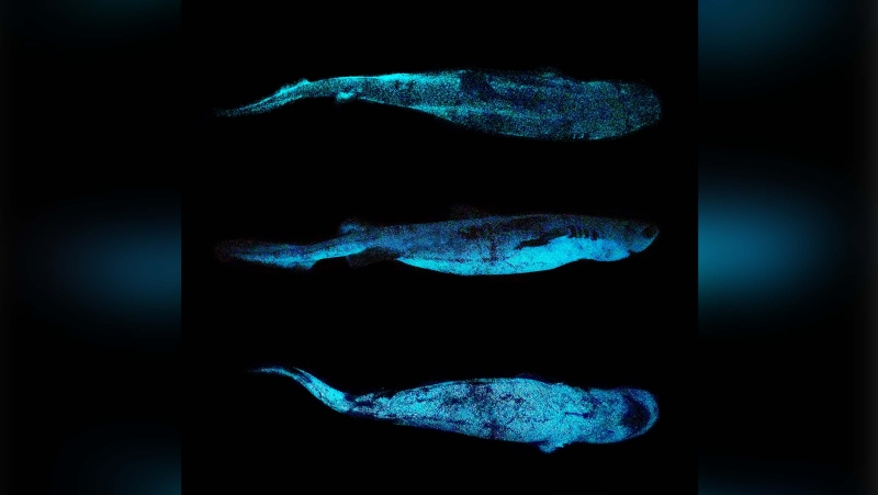 Scientists have taken the first ever photos of a glow-in-the-dark shark producing its own light. (Dr. Jérôme Mallefet/FNRS/UCLouvain Belgium via CNN)