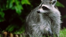 The City of Toronto is advising residents to avoid interactions with raccoons after a spike in reported attacks.