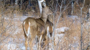 White tailed deer spotted in Birds Hill Provincial Park. Photo by Garry Lawrence.