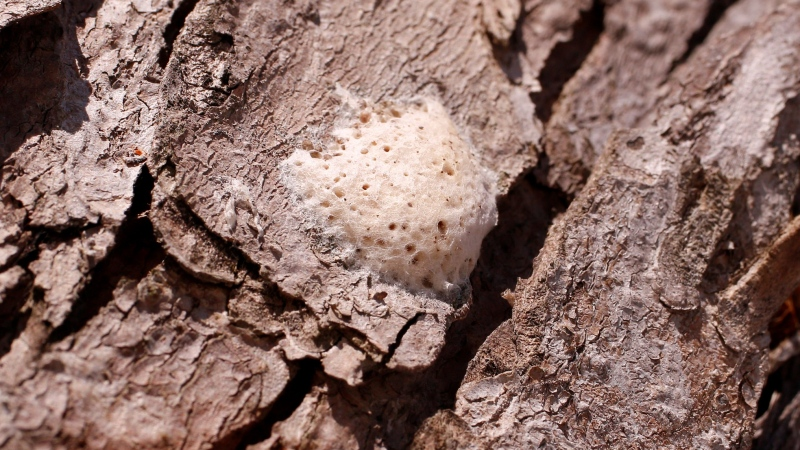 A gypsy moth egg mass is seen in London, Ont. (Source: The Upper Thames River Conservation Authority)
