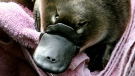 A baby platypus at Taronga Zoo in Australia. (AFP)