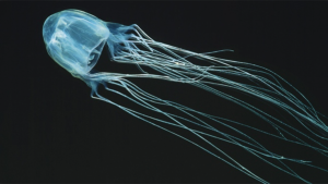 In this undated photo released by marinethemes.com, a box jellyfish swims along the Australian coast. (AP Photo/marinethemes.com, Kelvin Aitken)