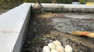 A Canada goose and its nest on a rooftop is seen in this undated image. (City of Vancouver)